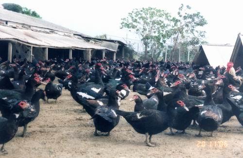 保種動物-黑色番鴨
