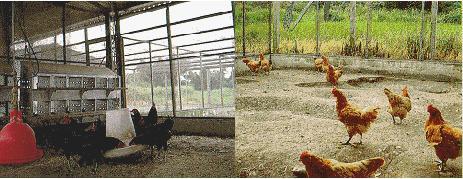 台灣土雞之保種-中興大學飼養環境