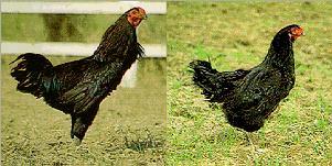 台灣土雞之保種-5. 花東土雞