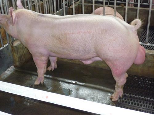 台灣種豬發展協會9809期Y0497-14側面相片