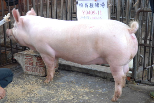 台灣種豬發展協會9809期Y0409-11側面相片