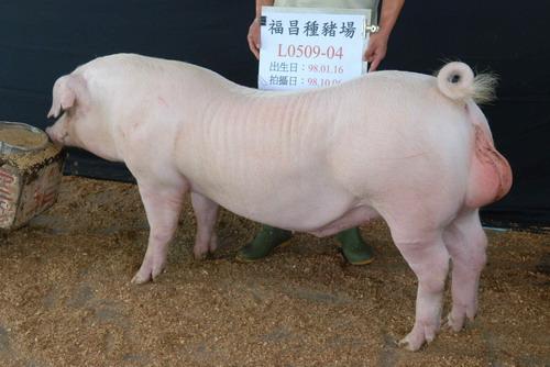 台灣種豬發展協會9809期L0509-04側面相片