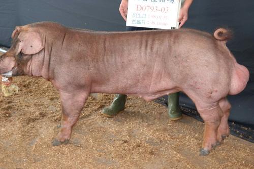 台灣種豬發展協會9809期D0793-03側面相片