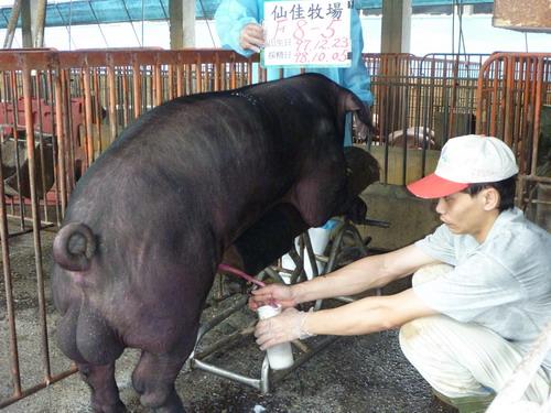 台灣種豬發展協會9809期F0008-05採精相片