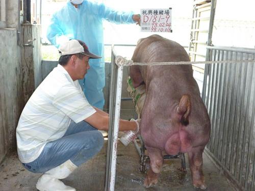 台灣種豬發展協會9809期D0181-09採精相片