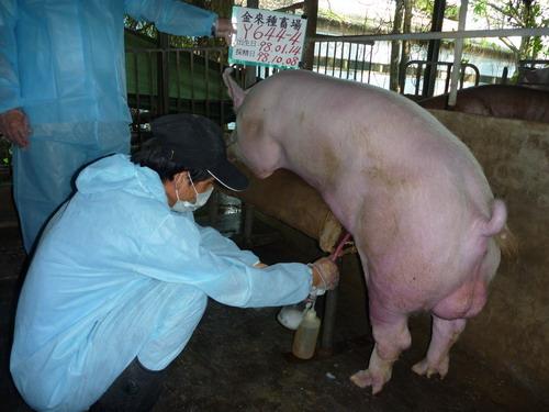 台灣種豬發展協會9809期Y0644-04採精相片