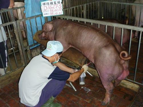 台灣種豬發展協會9809期D1627-05採精相片