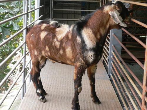 台東畜繁殖場種羊