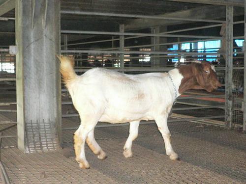 溪底寮畜牧場種羊