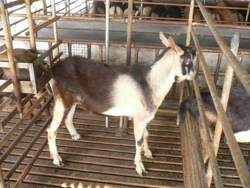 喬安牧場種羊