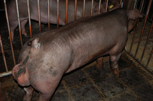 中央畜產會200904期D0317-03體型-全身相片