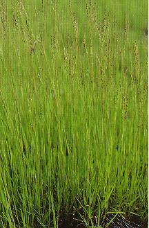 東非指草Digitaria herpoclados Pilger