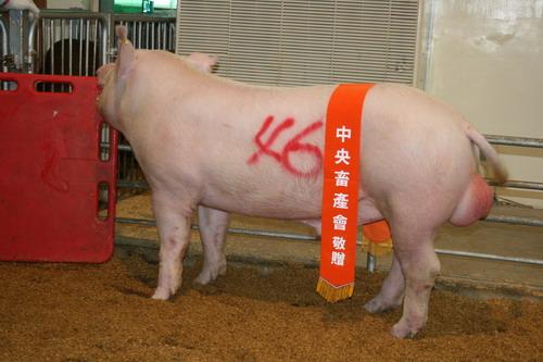 中央畜產會200904期Y0485-01拍賣照片(高價豬)