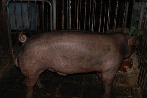 中央畜產會200904期D1051-06體型-全身相片