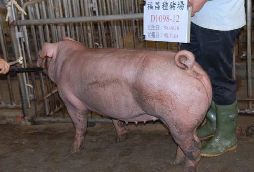 台灣種豬發展協會9810期D1098-12側面相片