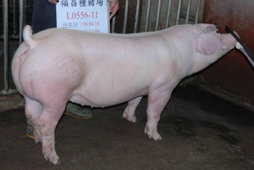 台灣種豬發展協會9810期L0556-11側面相片