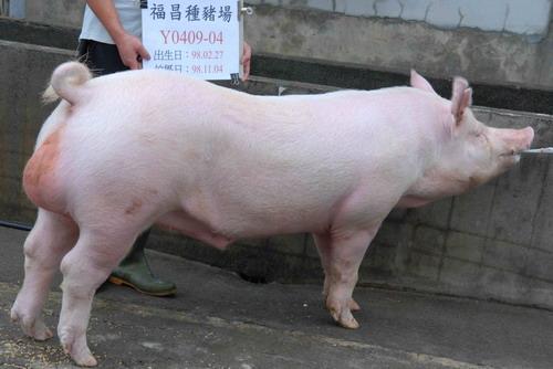 台灣種豬發展協會9810期Y0409-04側面相片