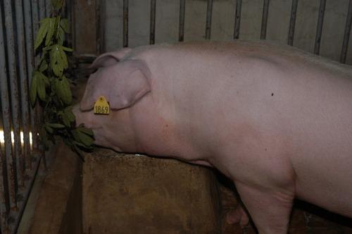 中央畜產會200905期L0026-06體型-頭頸相片