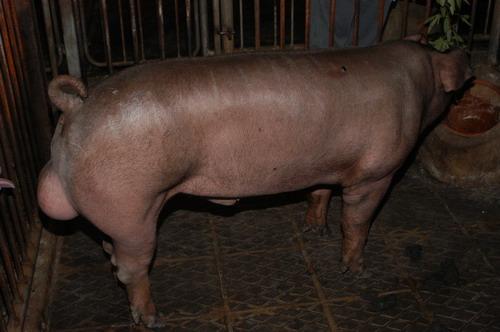 中央畜產會200905期D1330-02體型-全身相片