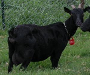 黑山羊基因庫-耳號:1120