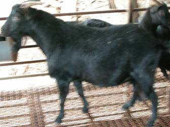 黑山羊基因庫-耳號:1