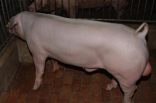 中央畜產會200905期L0026-04體型-全身相片