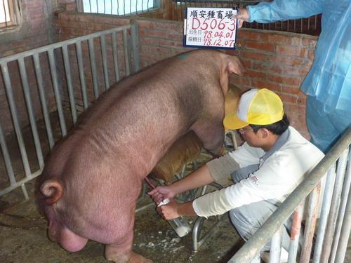 台灣種豬發展協會9811期D0506-03採精相片