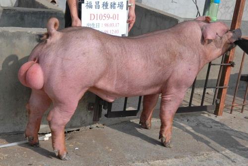 台灣種豬發展協會9811期D1059-01側面相片