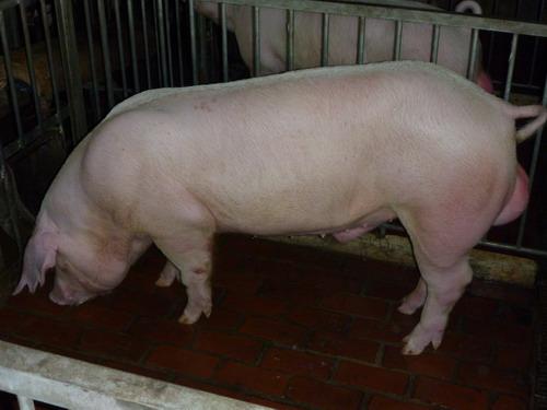 台灣種豬發展協會9811期L1795-15側面相片