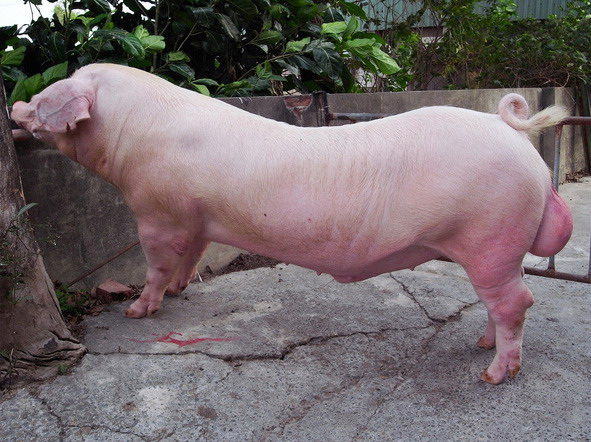 台灣種豬發展協會9811期L0488-08側面相片