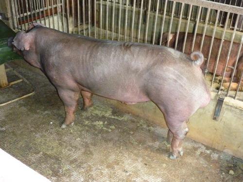 台灣種豬發展協會9811期D0249-12側面相片