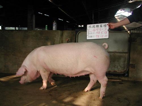 台灣種豬發展協會9811期L0493-03側面相片
