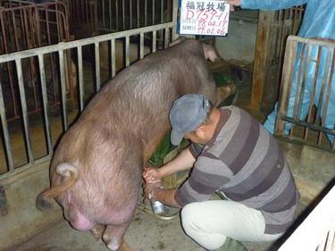 台灣種豬發展協會9901期D0759-11採精相片