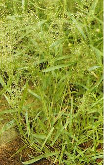 鯽魚草Eragrostis amabilis (L.) Wight & Arn. ex Nees