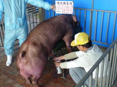 台灣種豬發展協會9901期D0516-03採精相片