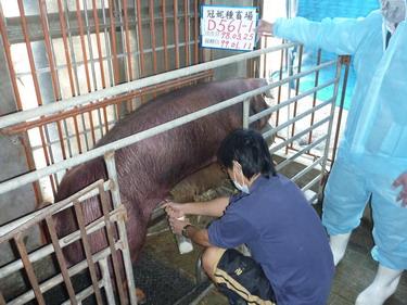 台灣種豬發展協會9901期D0561-01採精相片