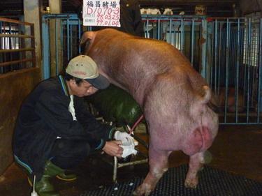 台灣種豬發展協會9901期D1070-03採精相片