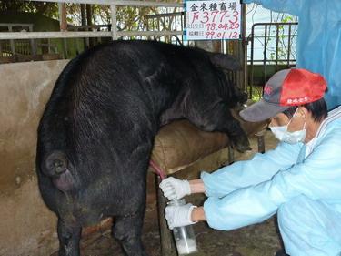 台灣種豬發展協會9901期F0377-03採精相片