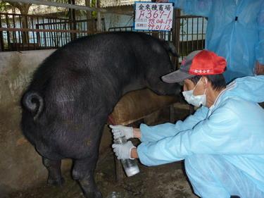 台灣種豬發展協會9901期F0369-01採精相片