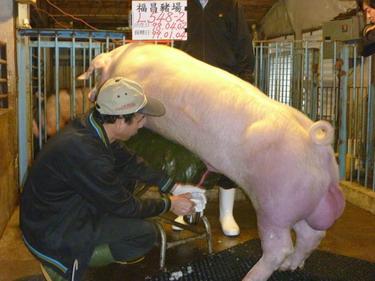 台灣種豬發展協會9901期L0548-02採精相片