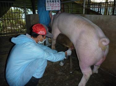台灣種豬發展協會9901期Y0661-02採精相片
