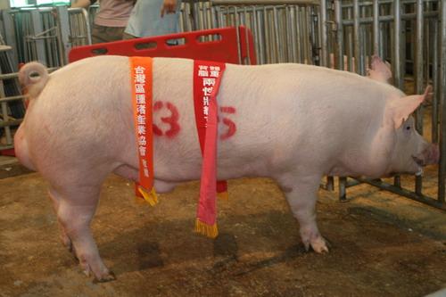 台灣種豬發展協會9811期Y0418-06拍賣相片(高價豬)