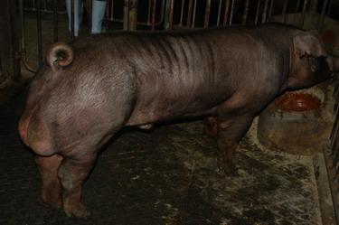 中央畜產會200907期D0312-11體型-全身相片