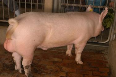 中央畜產會200907期Y0677-01體型-全身相片