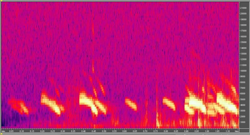 種原鳴叫聲-頻譜圖-小雞2