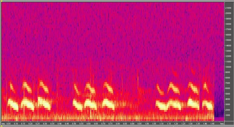 種原鳴叫聲-頻譜圖-番鴨仔鴨