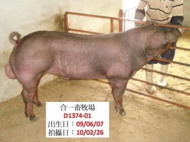 台灣種豬發展協會9902期D1374-01側面相片