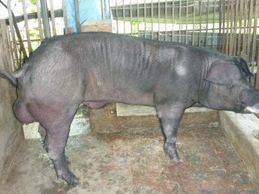 台灣種豬發展協會9902期F0440-01側面相片