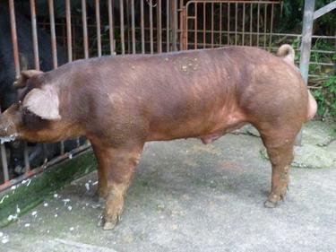 台灣種豬發展協會9902期D1601-10側面相片