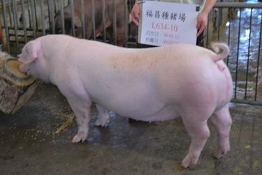 台灣種豬發展協會9902期L0634-10側面相片